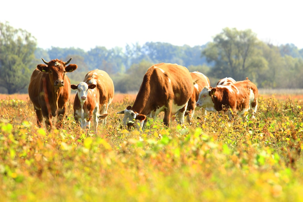 Beef cattle cows