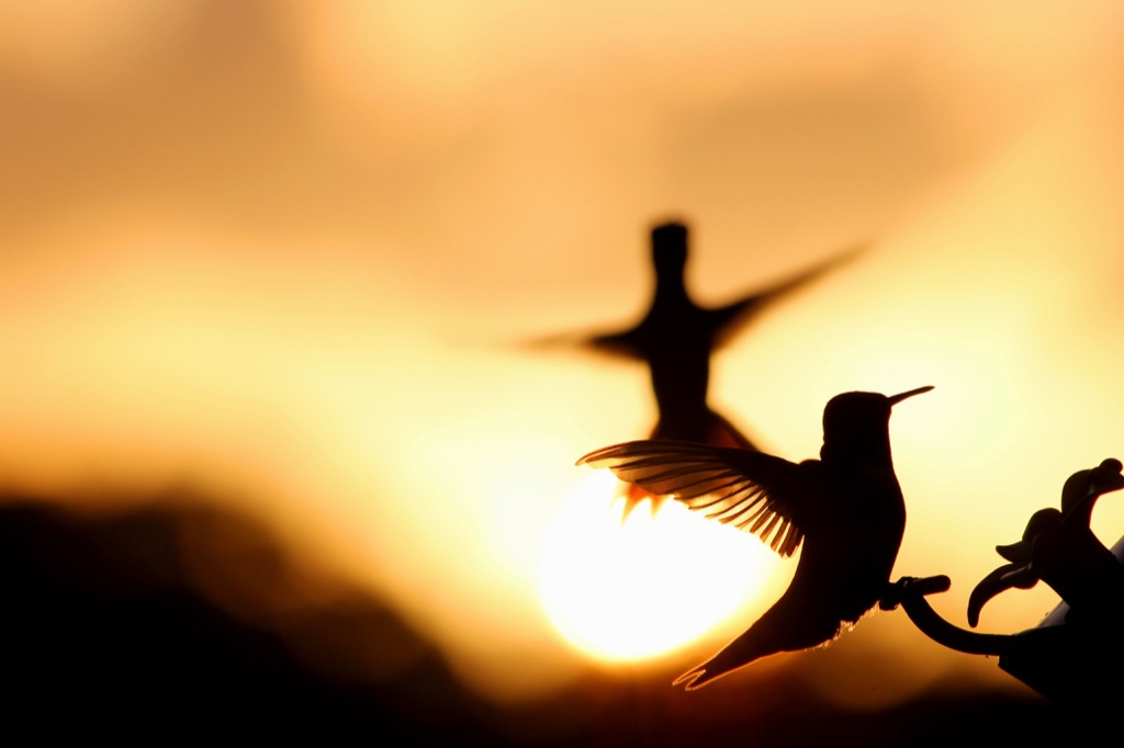 Testosterone birds