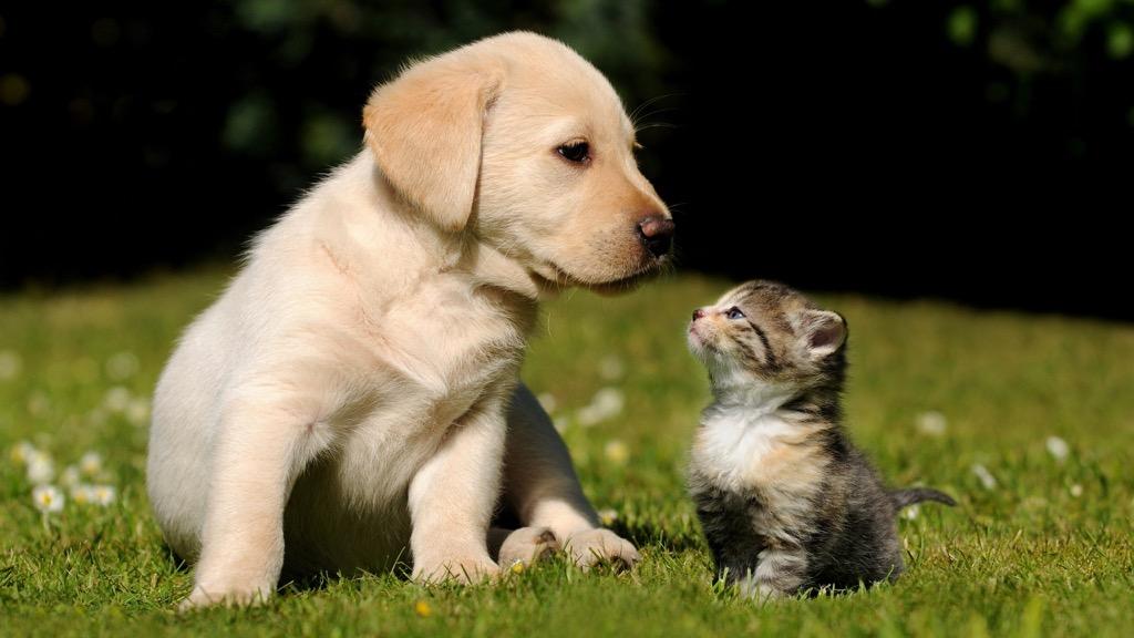 desktop backgrounds puppy kitten cute animals