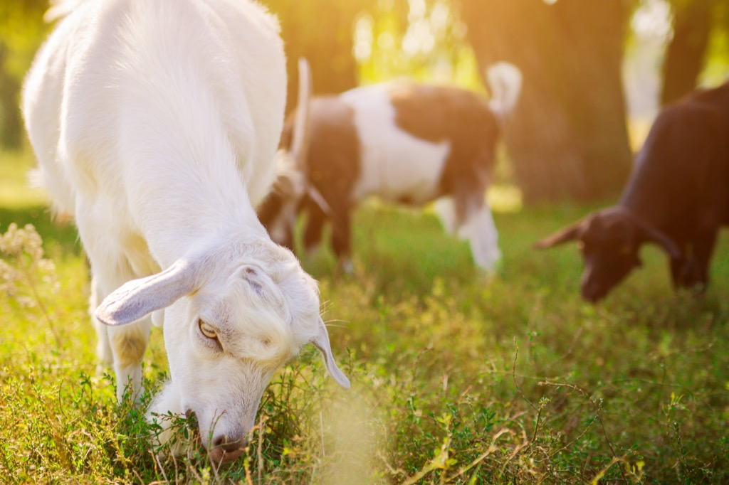 Goats Animals Who Are Real-Life Animals