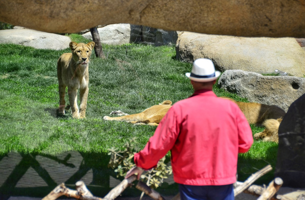 Man, Lioness, Risk