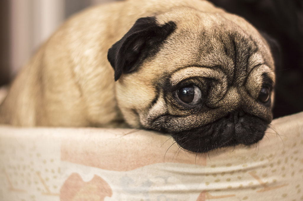 Pug with a sorry look.