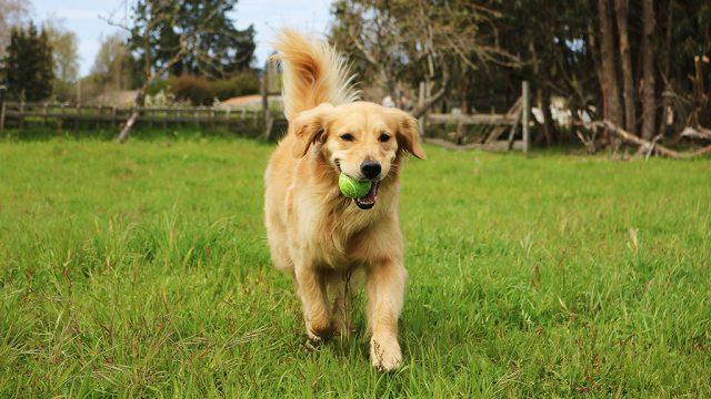 dog with tennis ball - dog puns