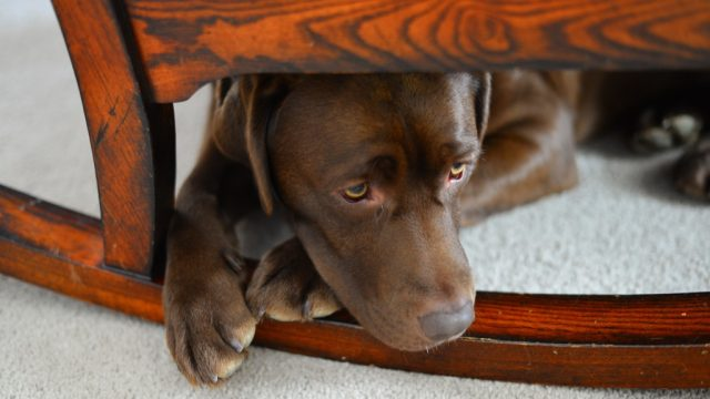 dog under the chair
