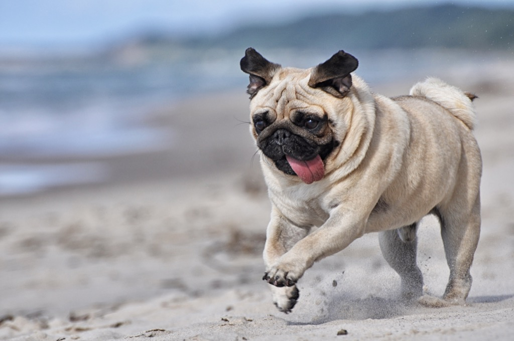 Pug, dogs for apartments