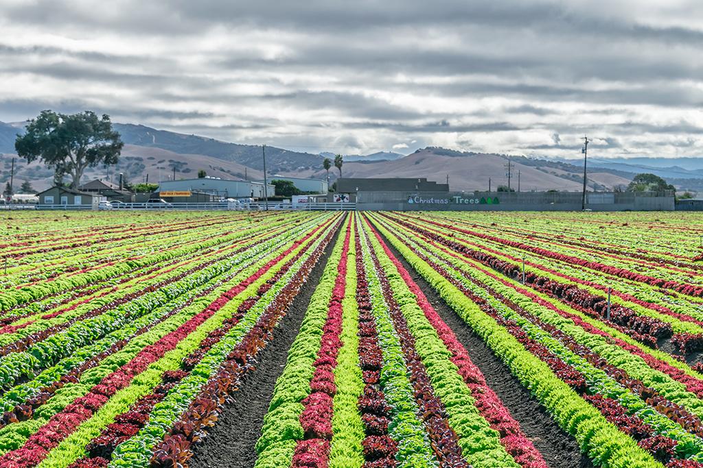 Salinas, CA, worst singles scenes, agriculture, lettuce