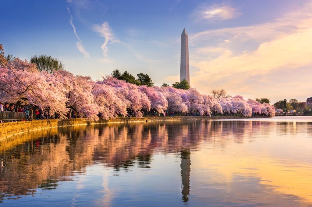 washington monument surrounded by cherry blossoms