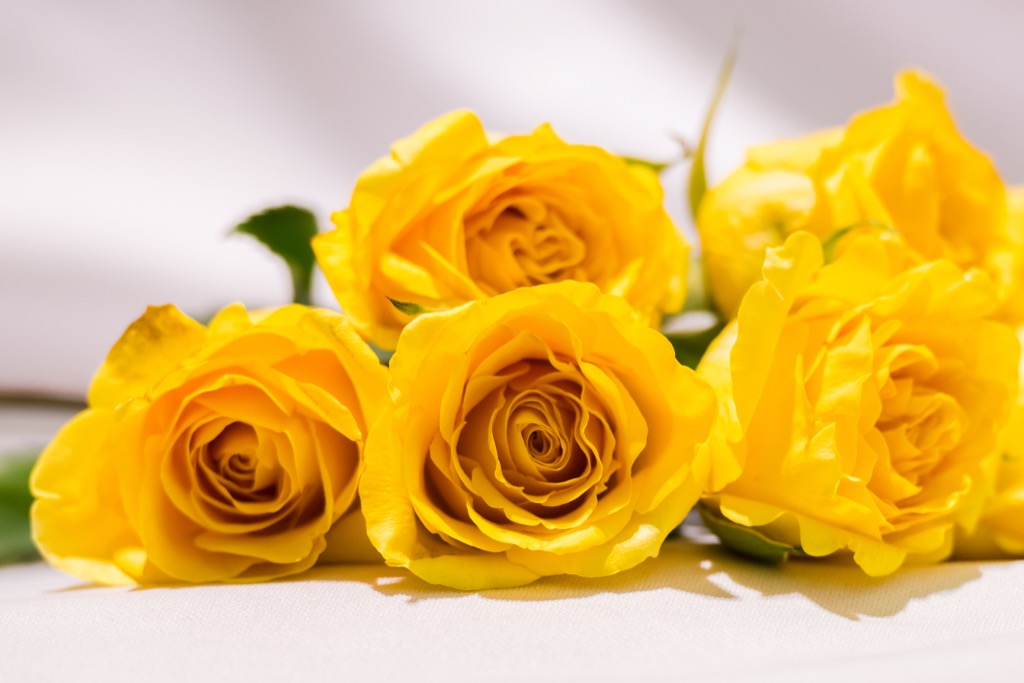 yellow roses, cultural mistakes