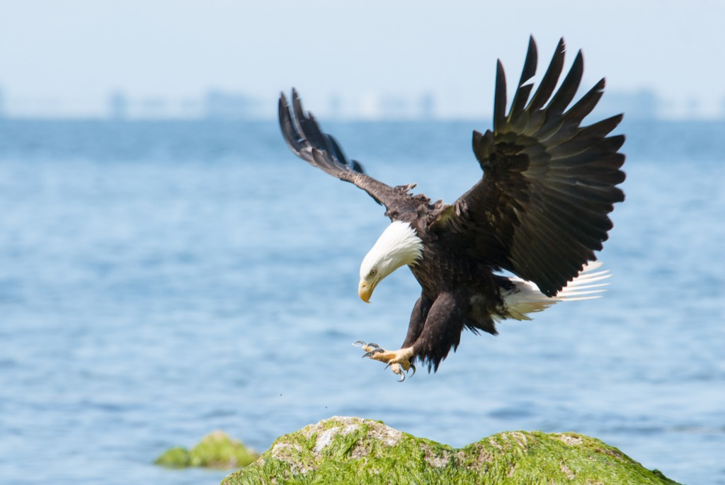 American bald eagle Amazing Facts