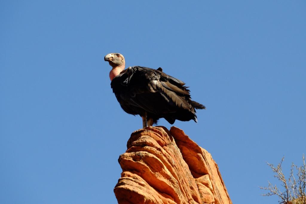 American vulture