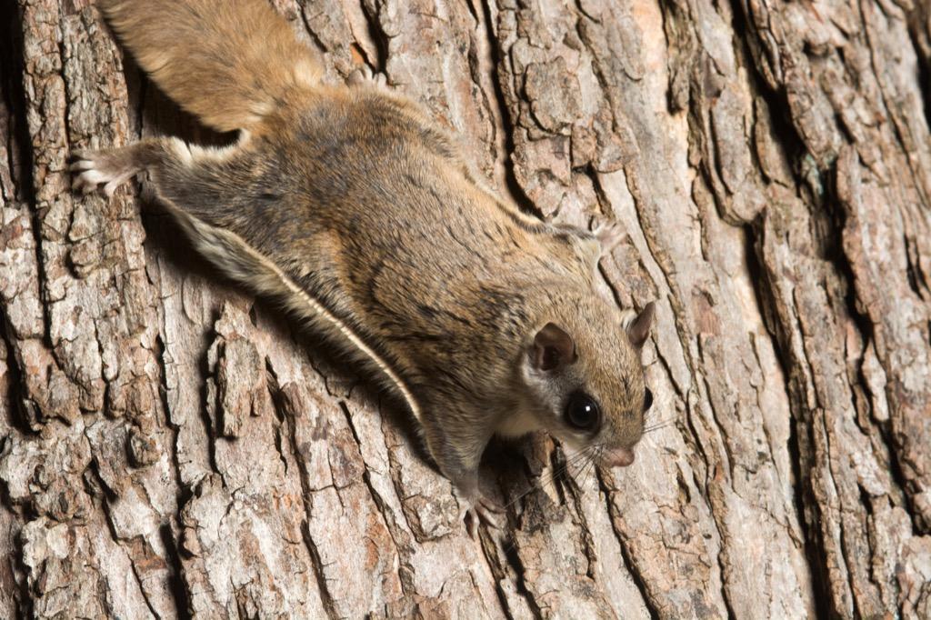 American flying squirrel