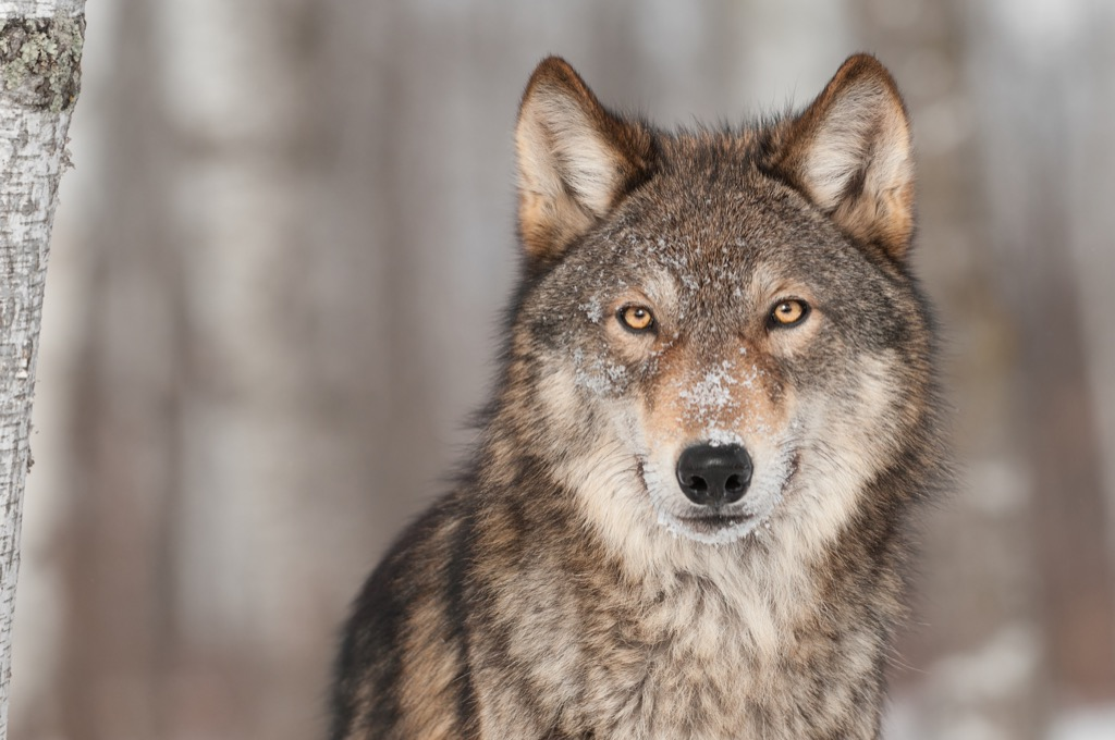 Gray wolf the biggest folk hero every state