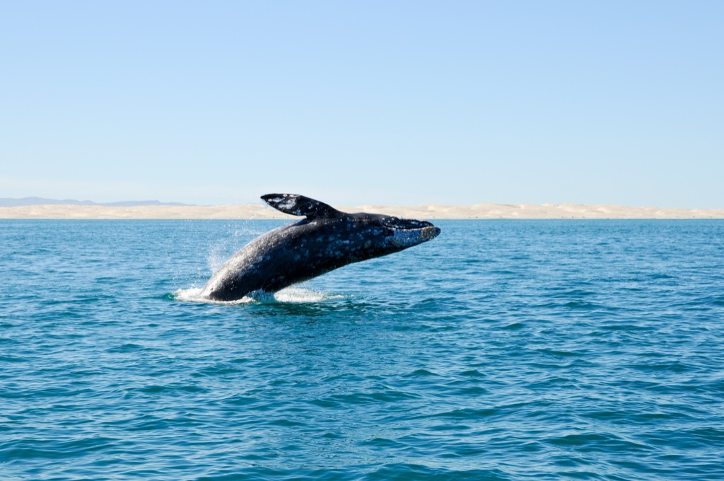 Gray whale jumping awesome facts