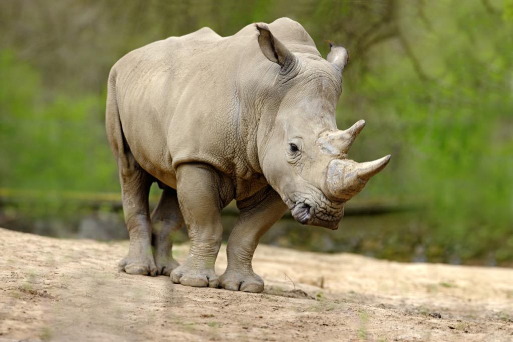 White rhino {best of 2018}