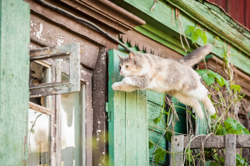 tabby cat jumping high in the air