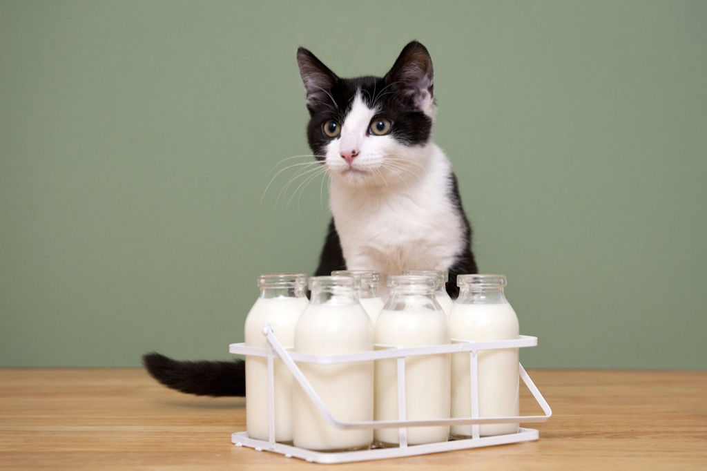 cats like milk but are often lactose intolerant