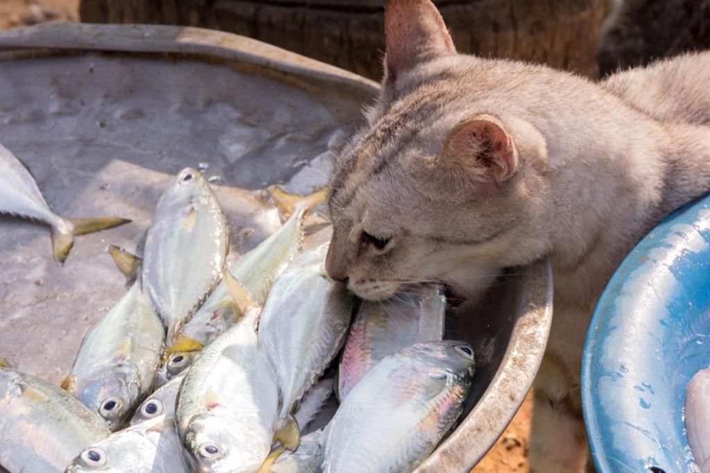 cat eating raw fish