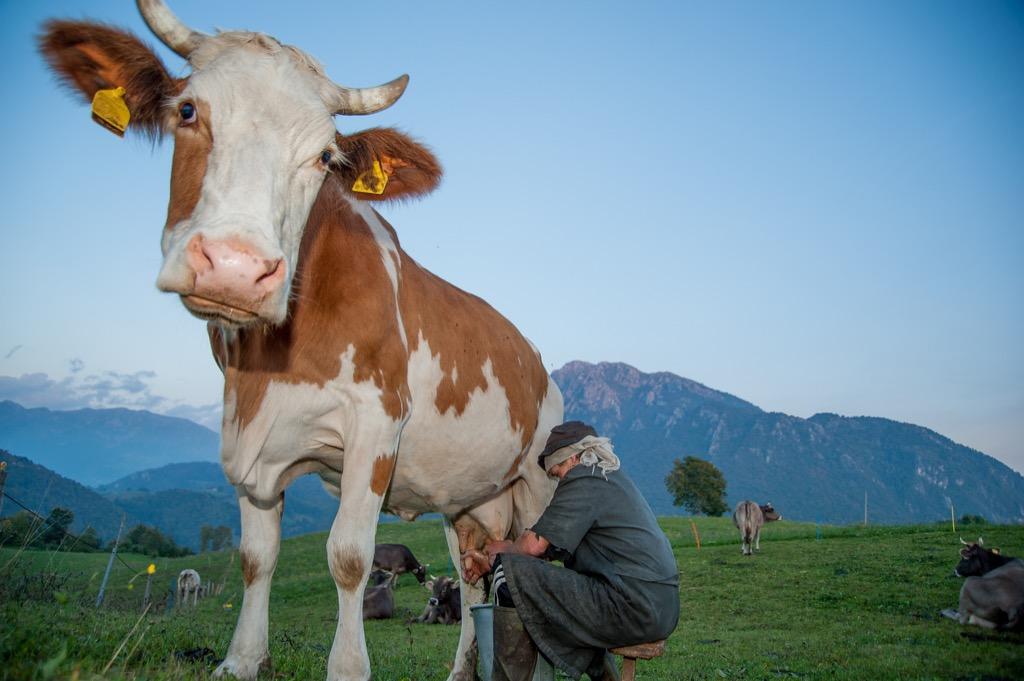 Man Milking Cow