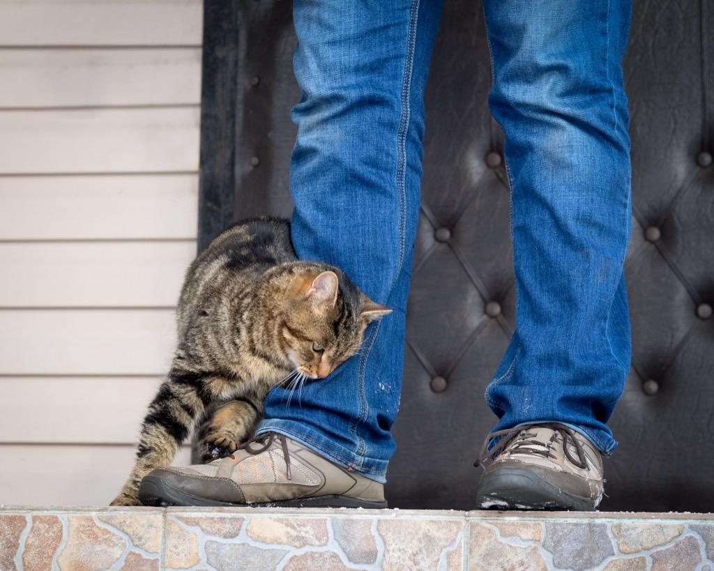 tabby cat rubbing on man in jeans
