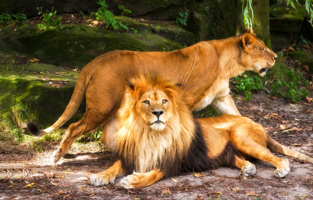 Female and male lion - deadliest animals