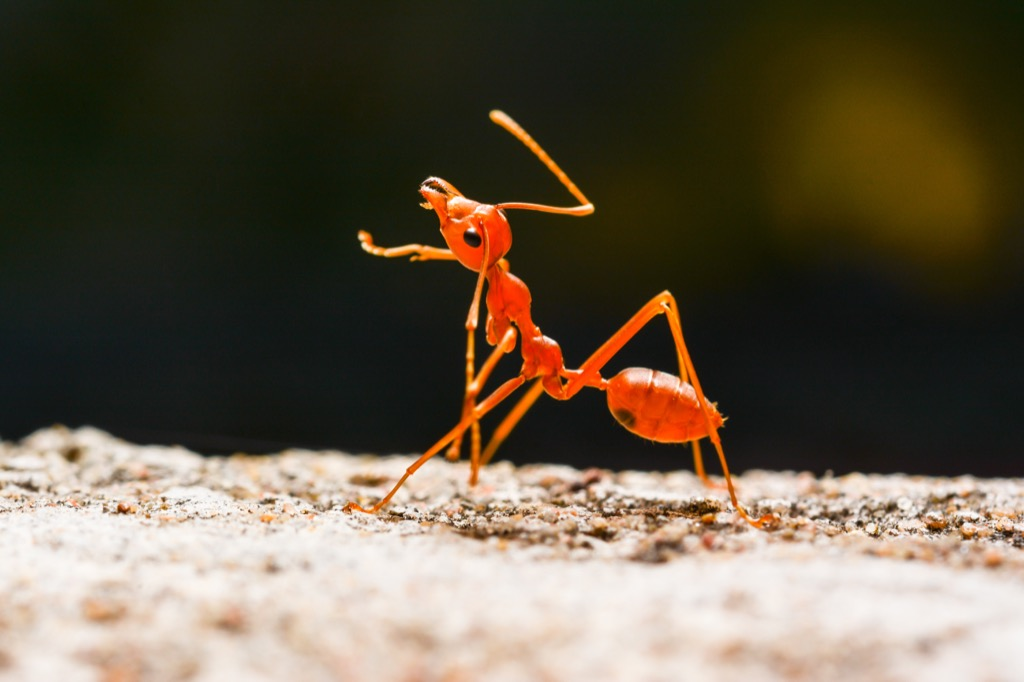 Red ant awesome facts