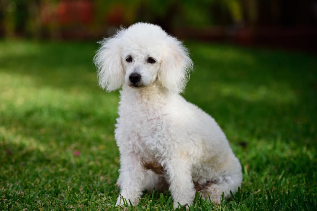 French poodle - dog puns