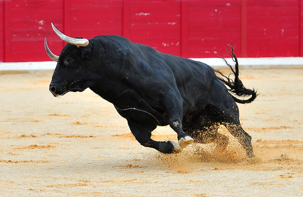 Bull Corny Jokes