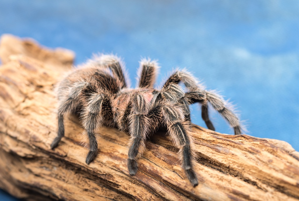Rose hair tarantula spider