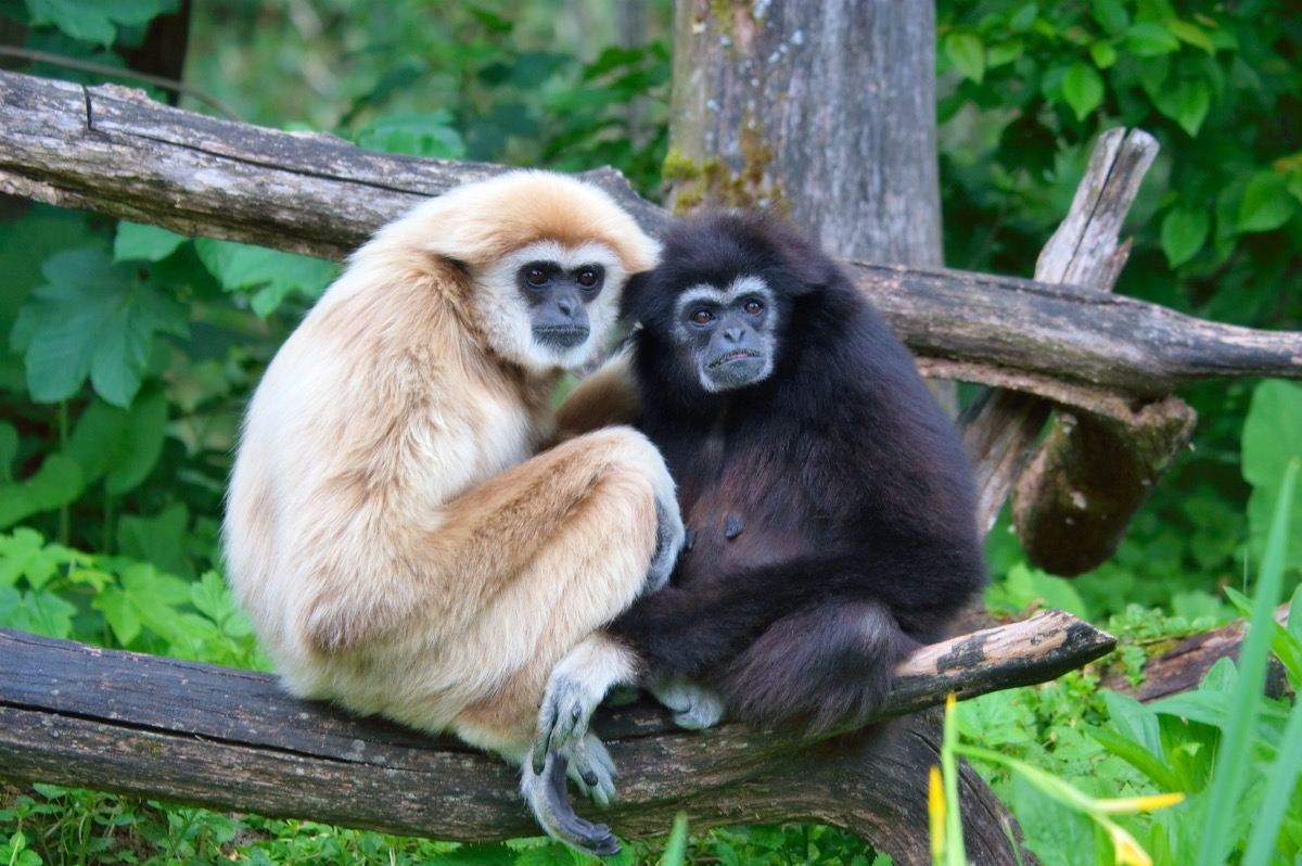 a pair of lar gibbons with a black crested gibbon in the trees, nearly extinct animals