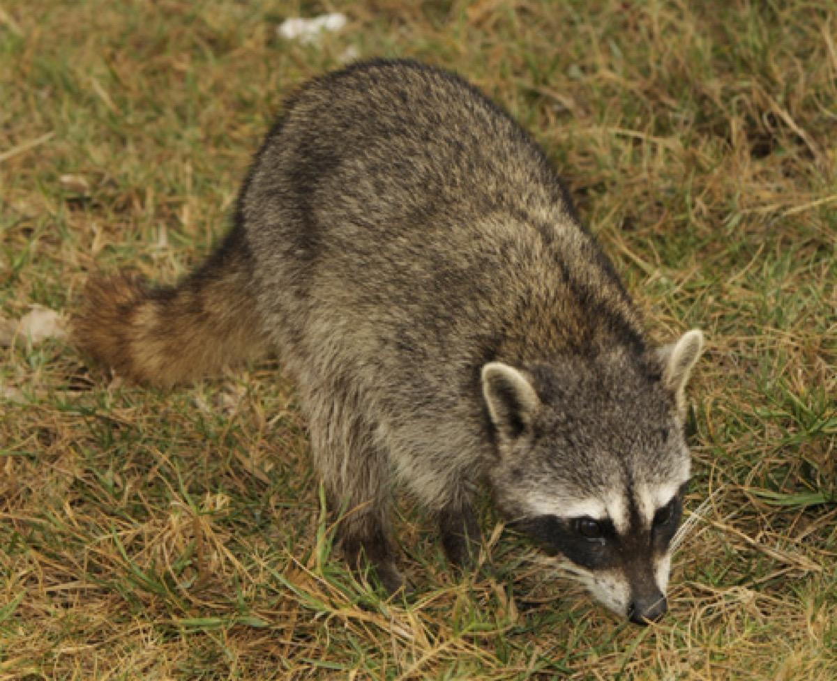 cozumel raccoon roaming around, nearly extinct animals