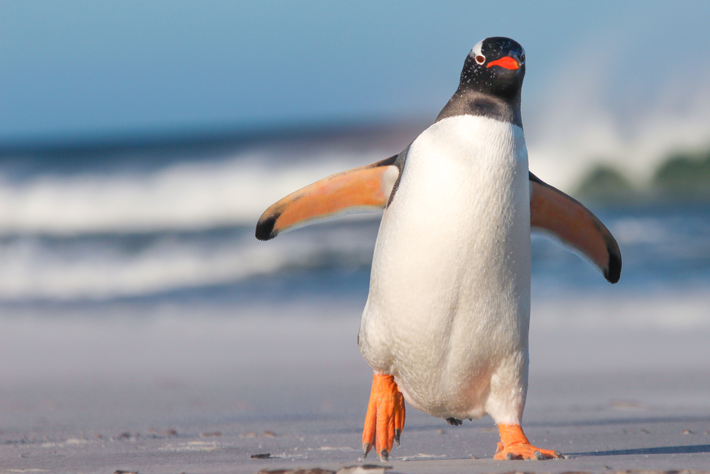 penguin coming for you Amazing Facts