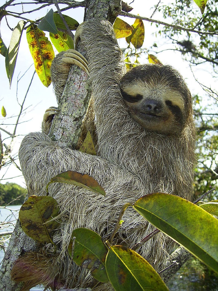 three-toed sloth hanging in the trees
