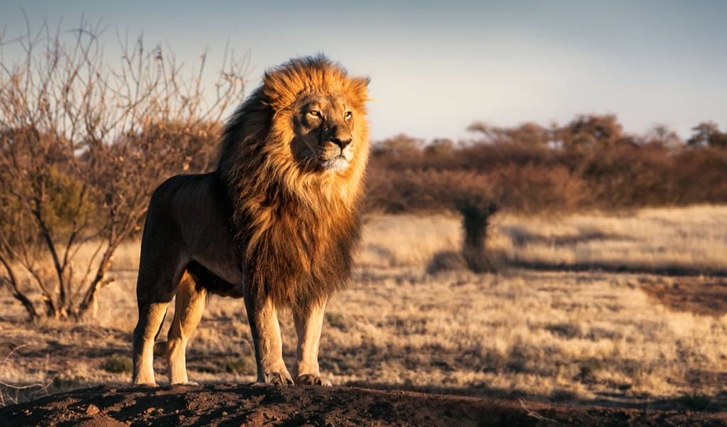 Lion Animals Who Are Real-Life Heroes