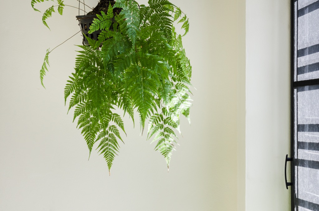 fern hanging in an apartment
