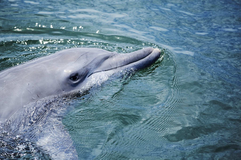 Bottlenose dolphin Animals Who Are Real-Life Heroes