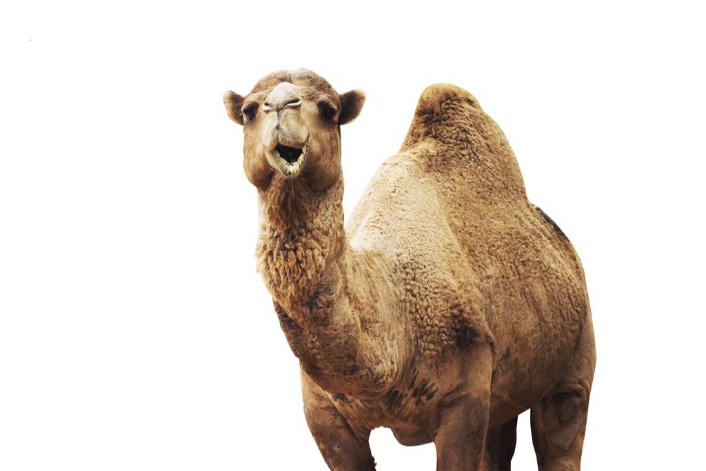 Camel Bogus 20th Century Facts