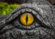 Crocodile yellow eyes