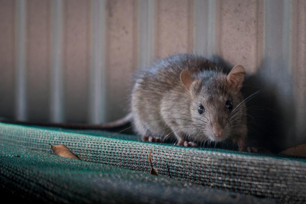Rat outdoors