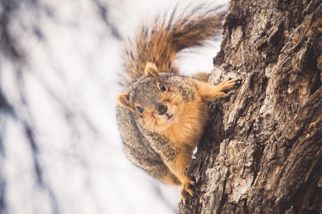 Fox squirrel in tree