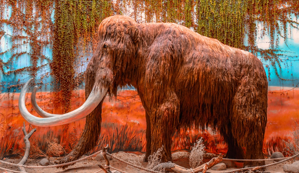 Woolly Mammoth display for the future Craziest fact