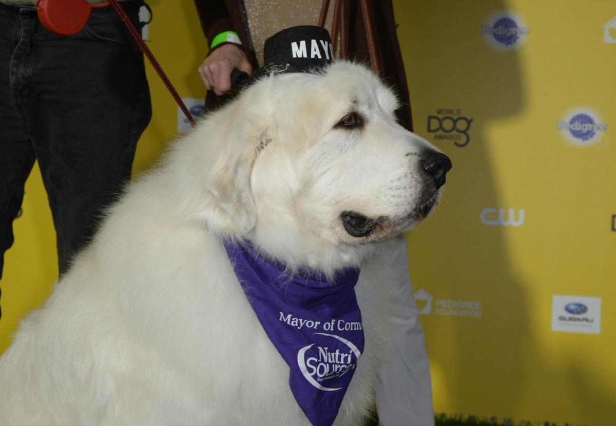 Duke the Dog elected Mayor in dog show