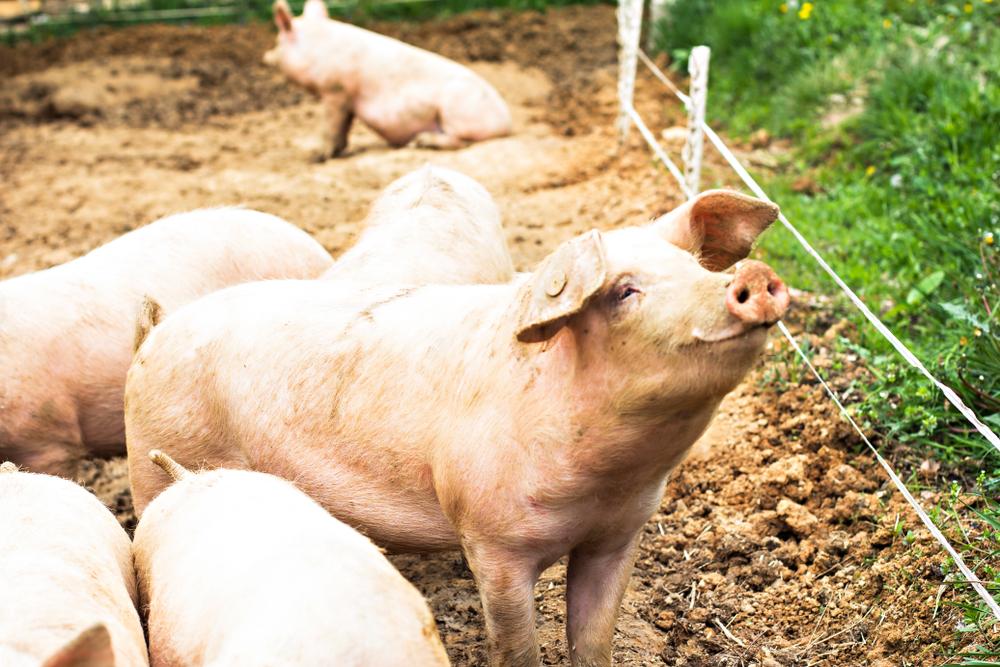 pig Scientific Discoveries