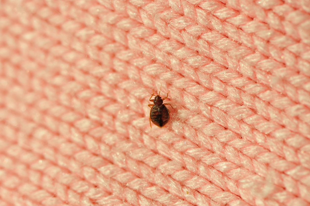 Bedbug on a blanket, things housekeepers hate