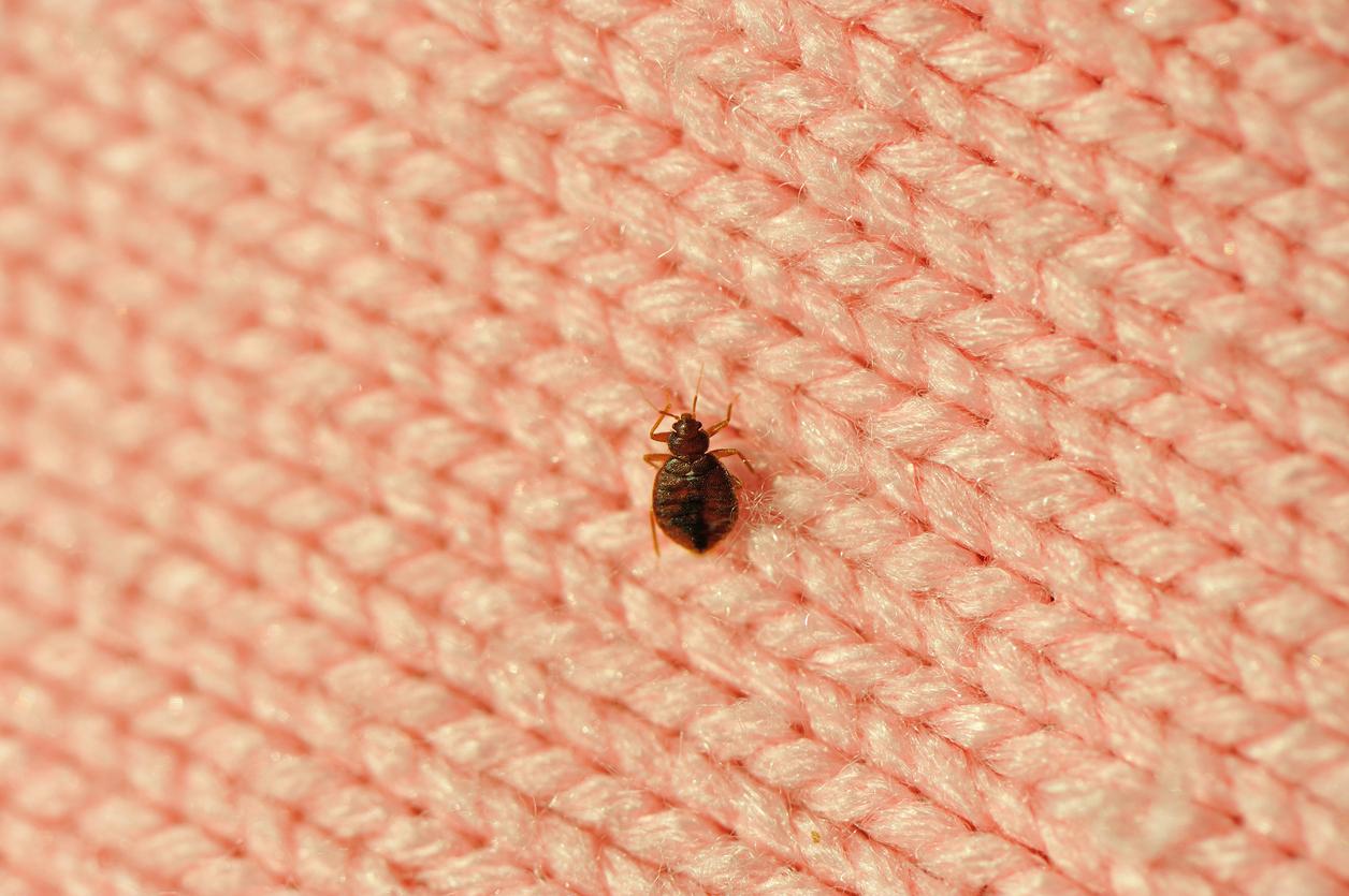 Bedbug on a blanket