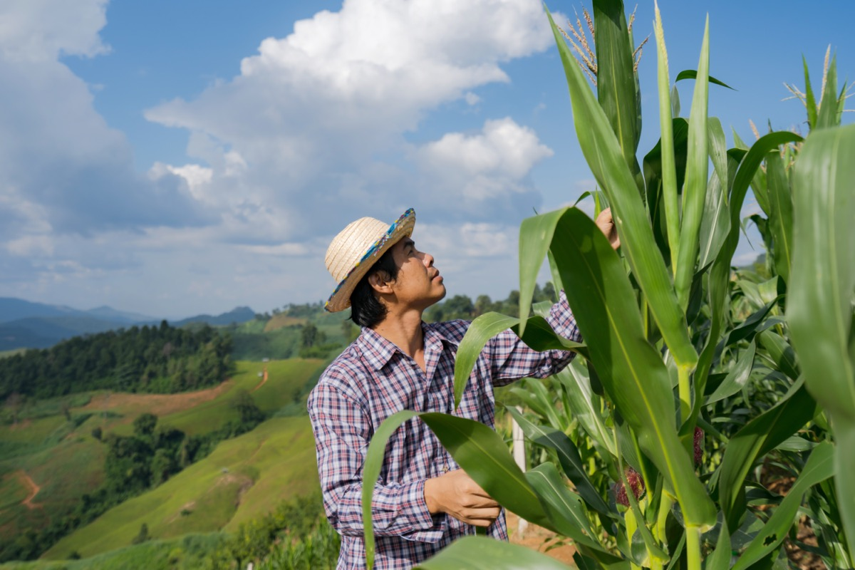 asian farmer attending his crops