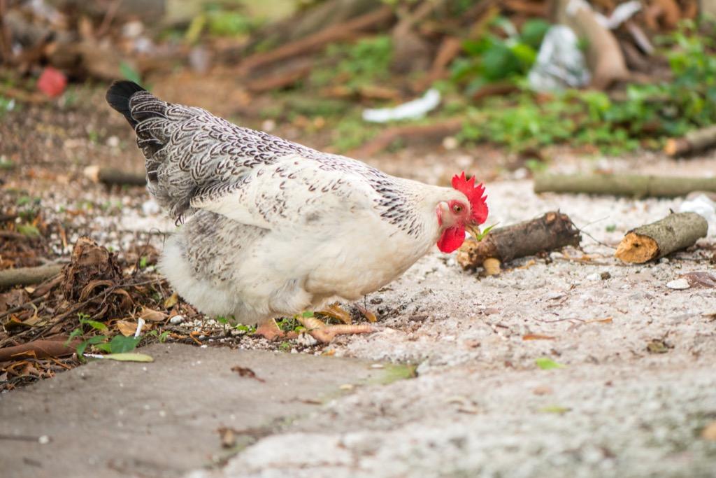 Chicken in Forest Animal Jokes