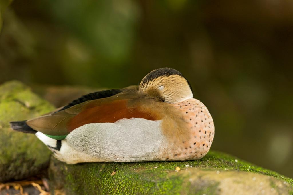 Sleeping Duck Corny Jokes