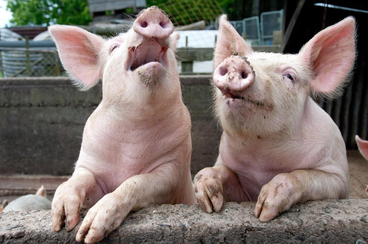 animal jokes- laughing pigs