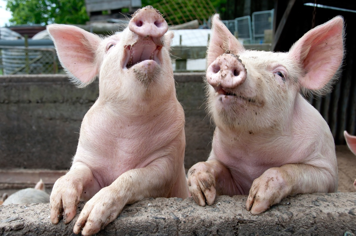 Two muddy pigs in a pen