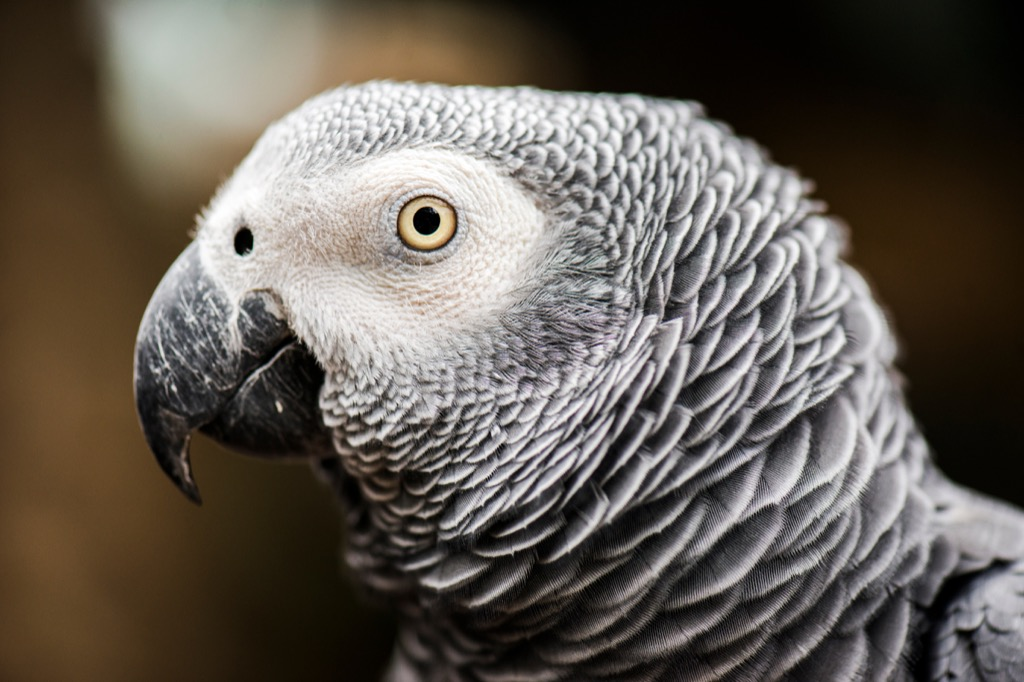 African Grey Parrot Random Obscure Facts